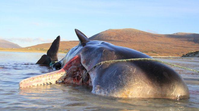 Las impactantes imágenes de un cachalote encontrado muerto con 100 kilos de basura en el estómago (Escocia).